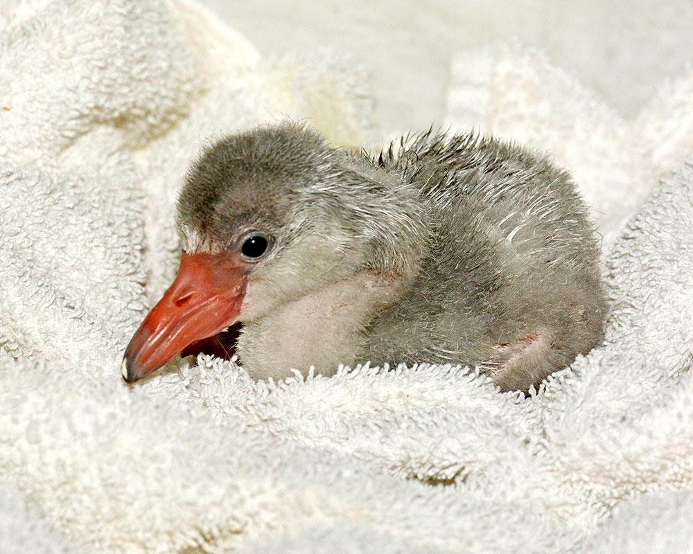 1708_10_Sub_New Baby Flamingo 7-12-17 Tad Motoyama _5439