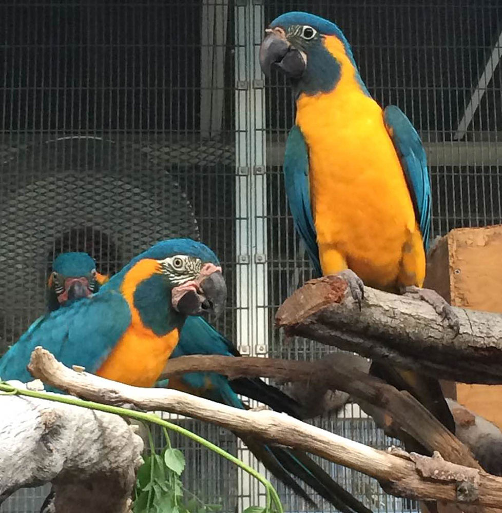 1708_10_Sub_baby blue-throated macaw and parents-Lori Rogalski