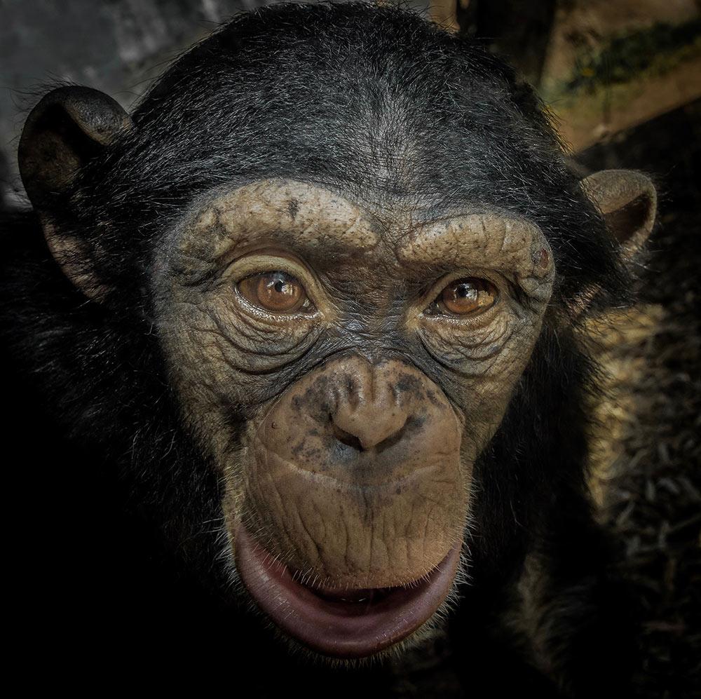 1708_6_Sub_chimpanzee Yuki-Matt Carey