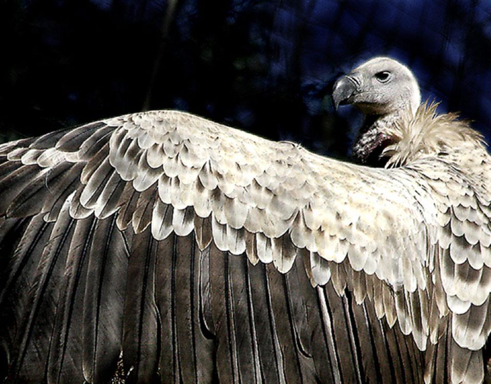 1709_3_Vulture3