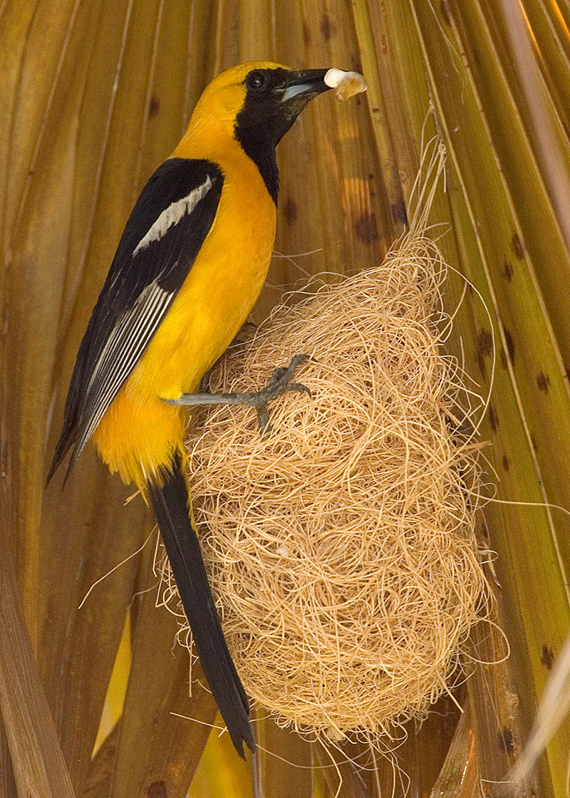 1709_7_Hooded Oriole-Neil Solomon