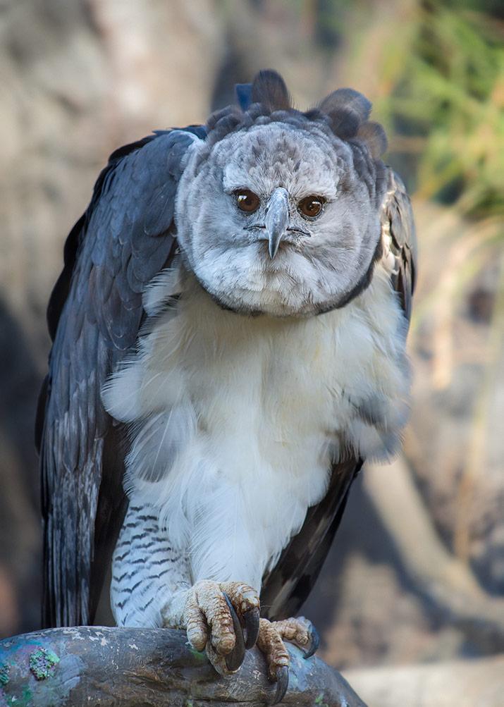1801_03_Harpy Eagle JEP_1736