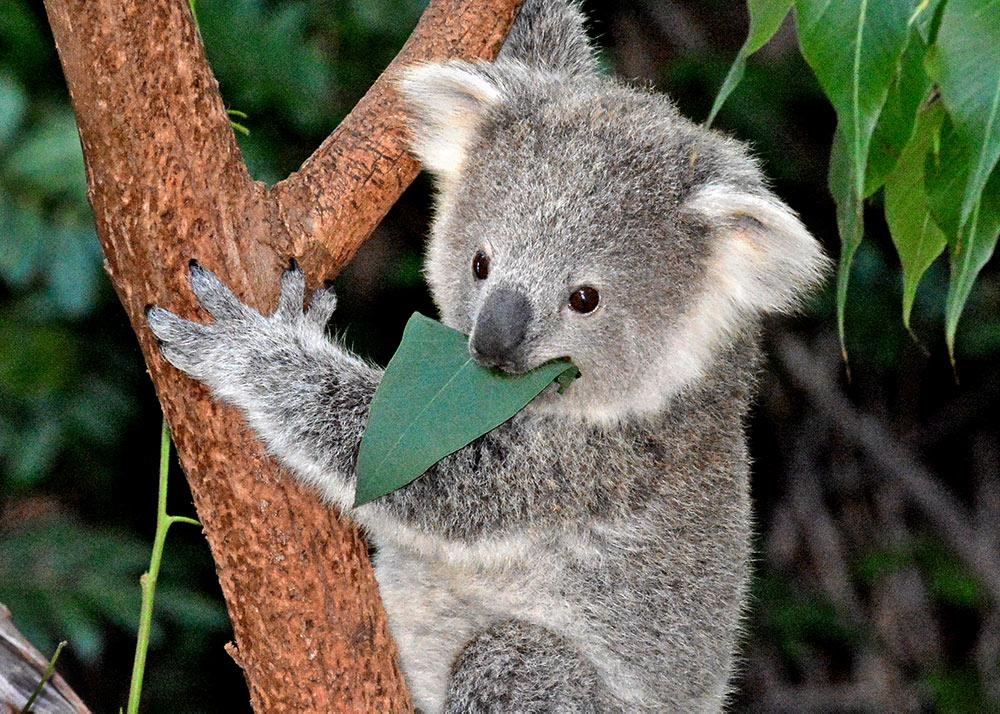 1801_03_Koala Joey Eating (Left Exhibit) 2-3-16_Tad Motoyama 4830