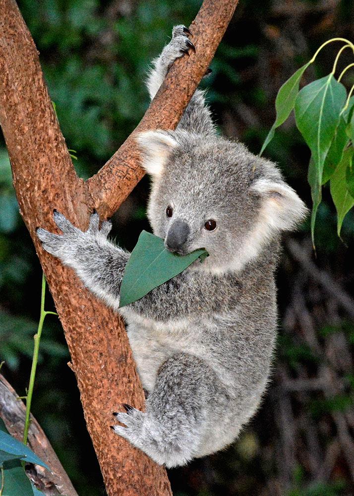 1803_02_01_Koala