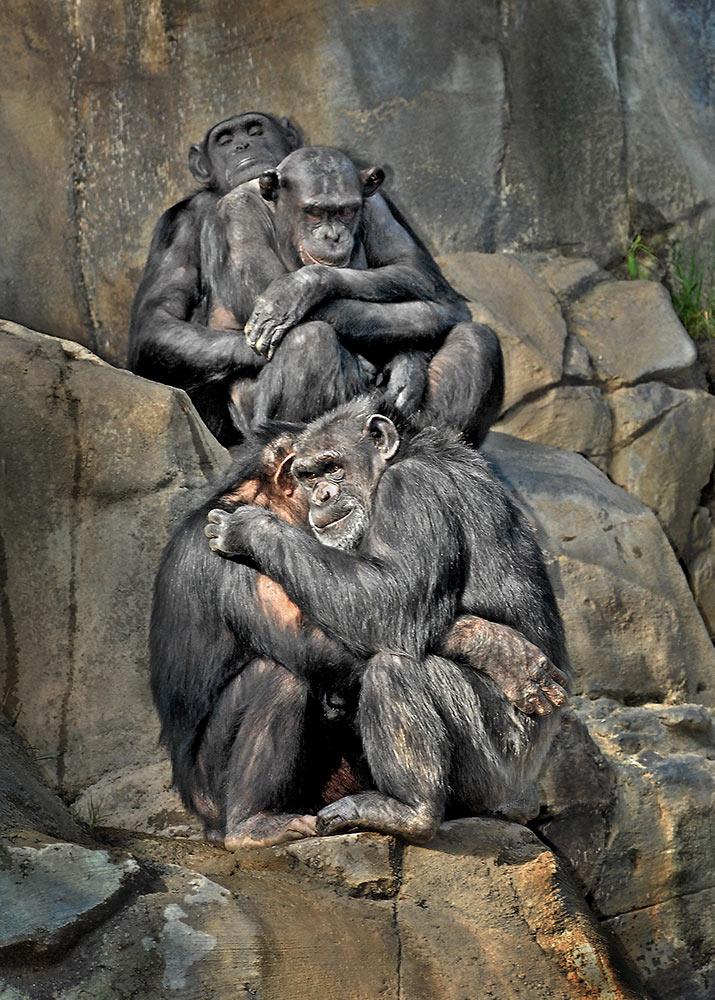 1803_02_06_Chimps