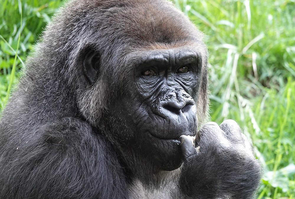 N'djia moved to Campo Gorilla at LA Zoo