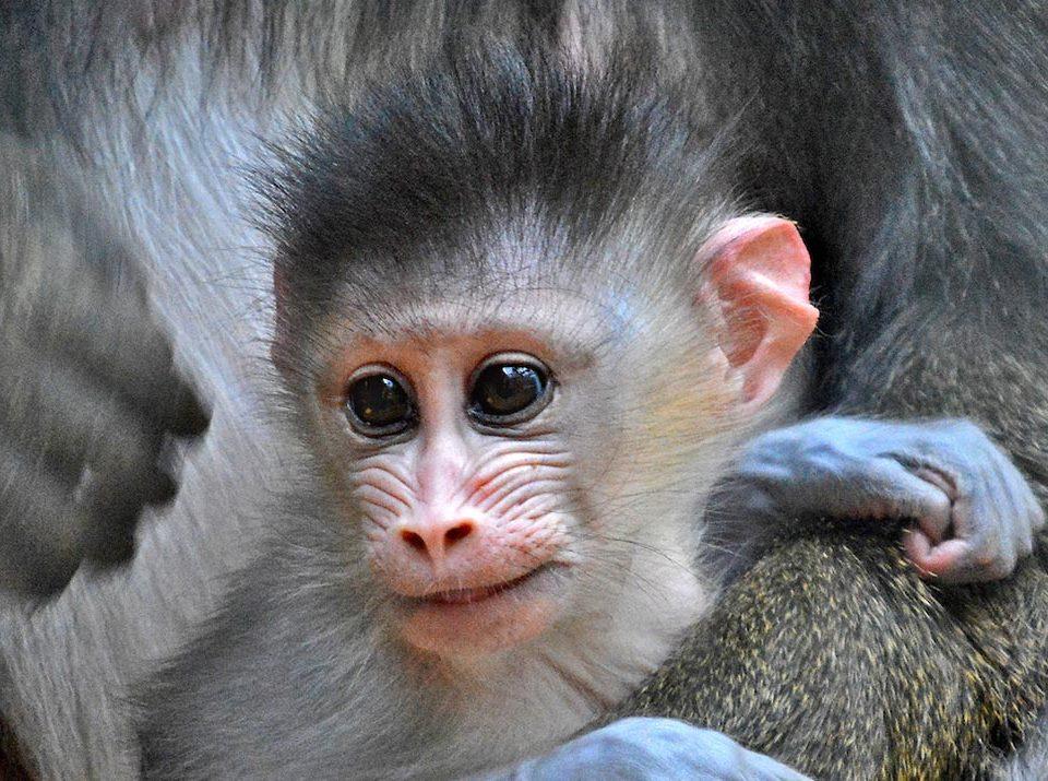 mandrill baby
