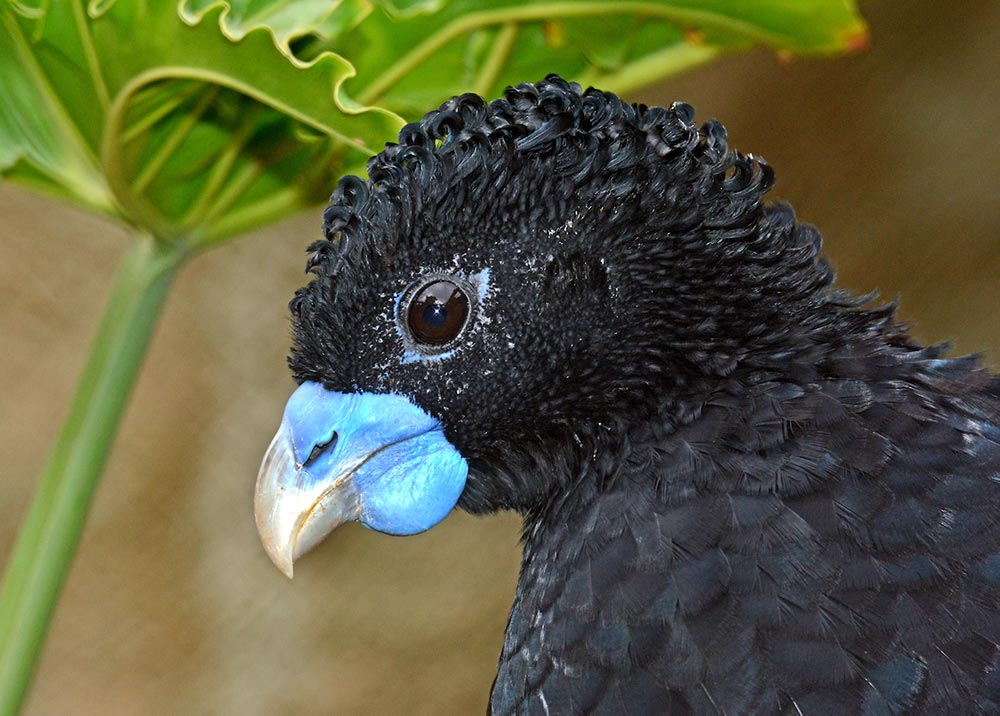 Blue-billed curassows