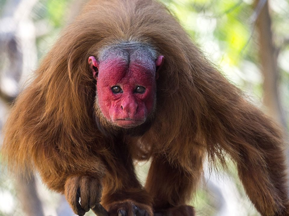 The Zoo's only male red uakari, Inti, endeared himself to his caretakers