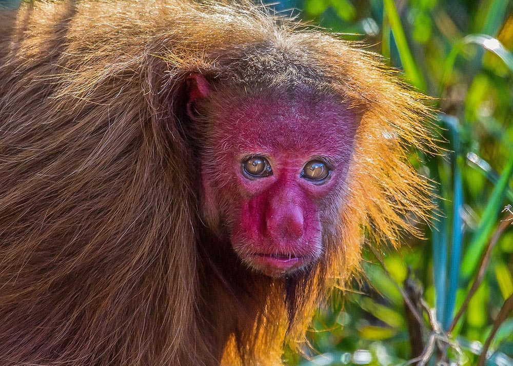 Female red uakari Cheyenna