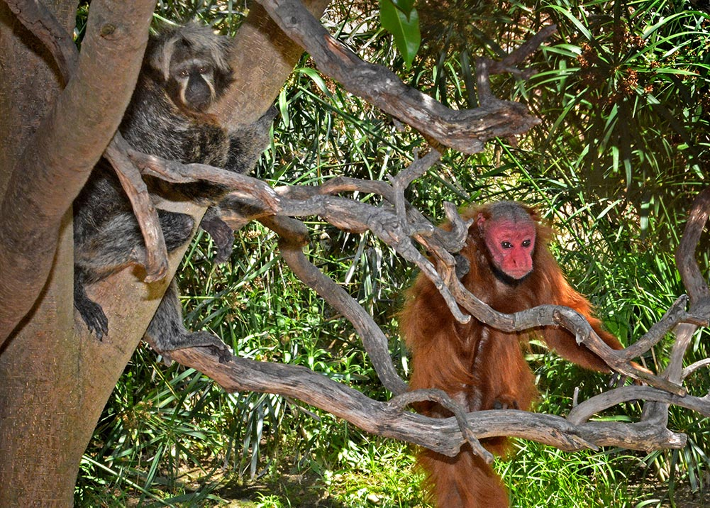Red uakari Daisy is now sharing her Rainforest of the Americas habitat with saki monkey Beatrice.