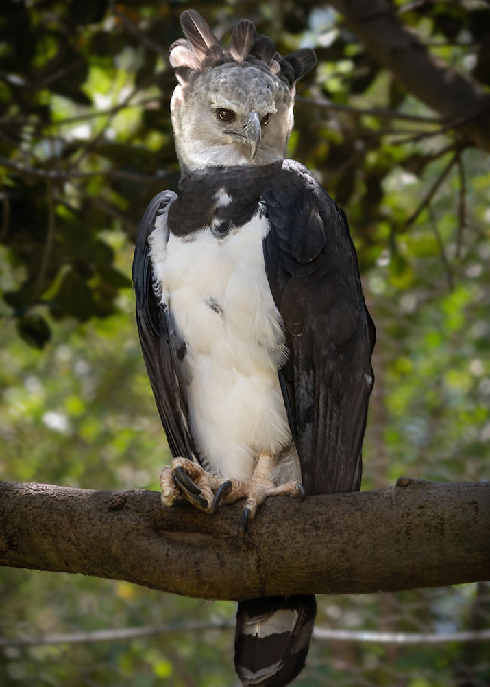 Resident male harpy eagle Ghost in Rainforest of the Americas.