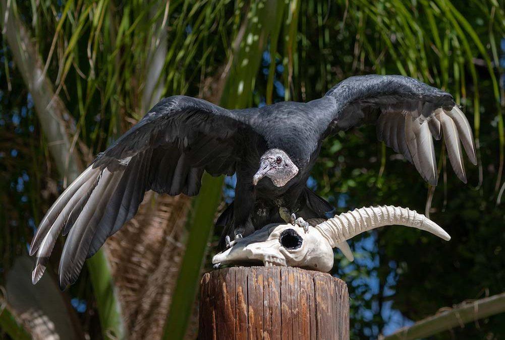 Morticia the black Vulture