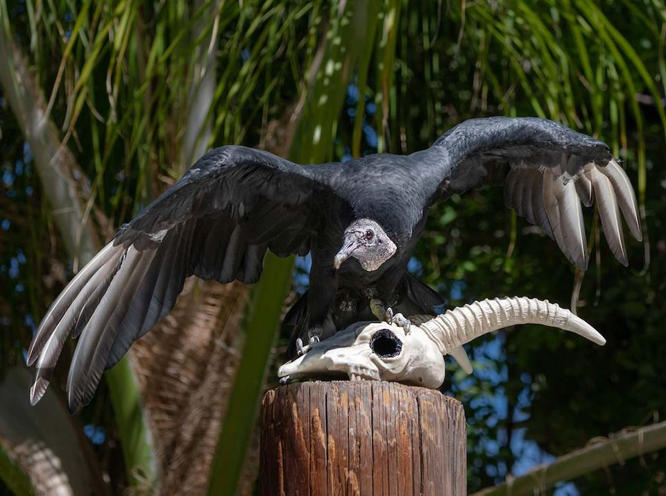 Morticia the black Vulture