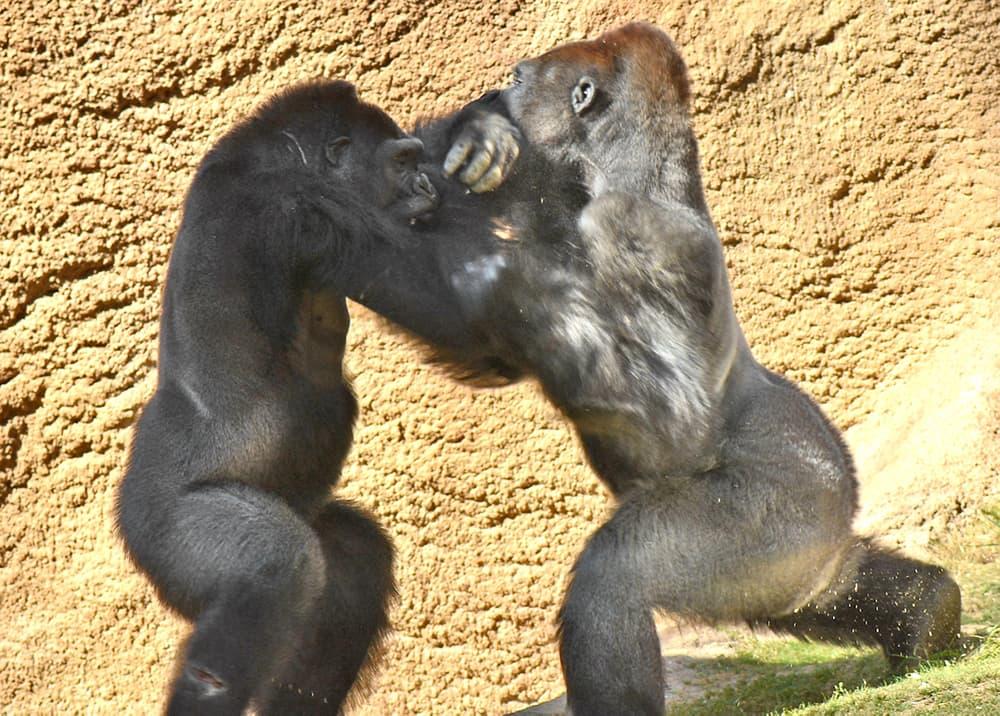 Gorilla tussle