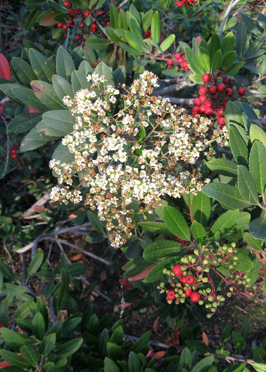 toyon flowers