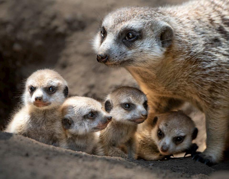 Meerkat Pups
