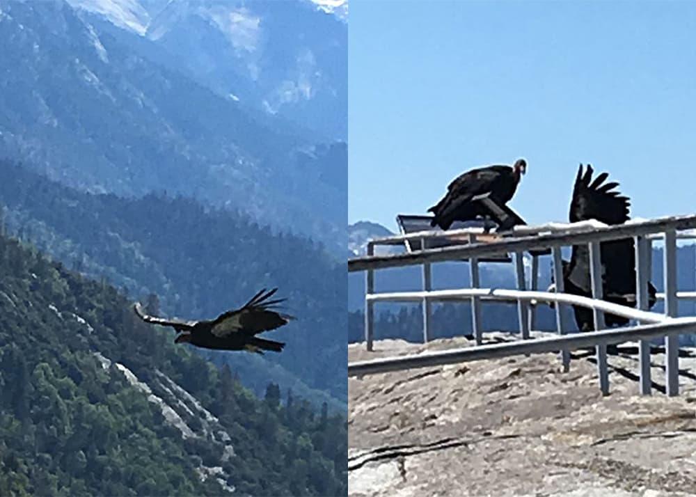 Condors in nature