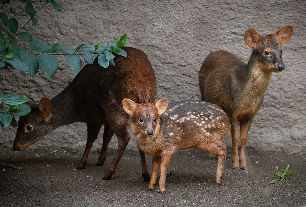 Three pudu standing near tree