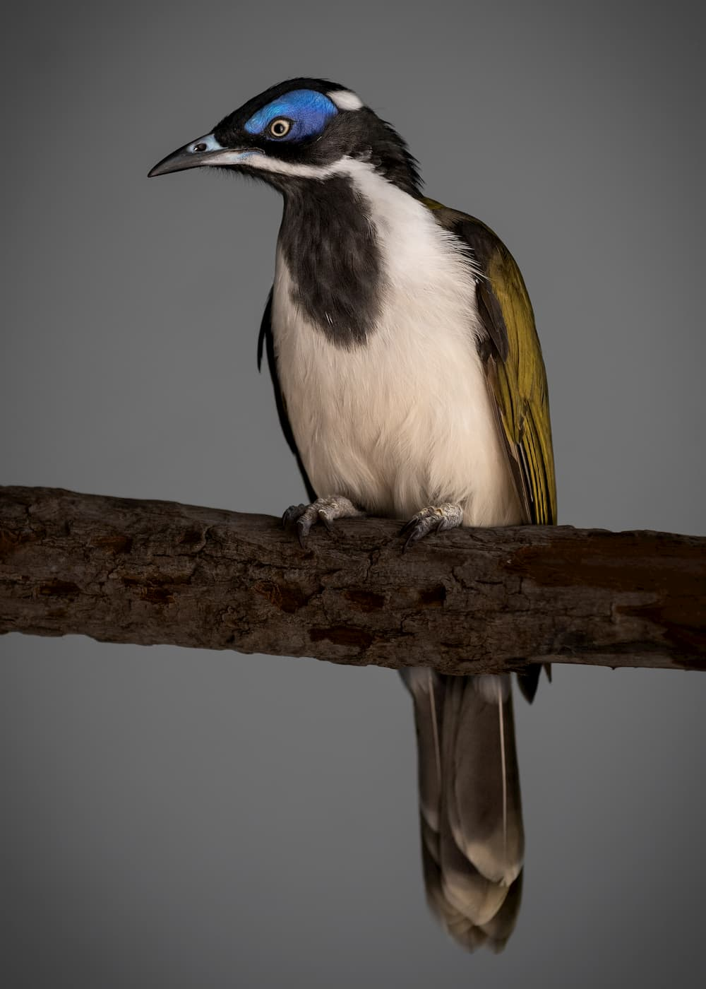 blue-faced honeyeater on a branch