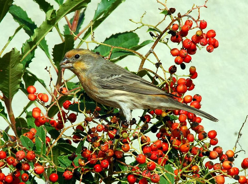 A finch perched on toyon