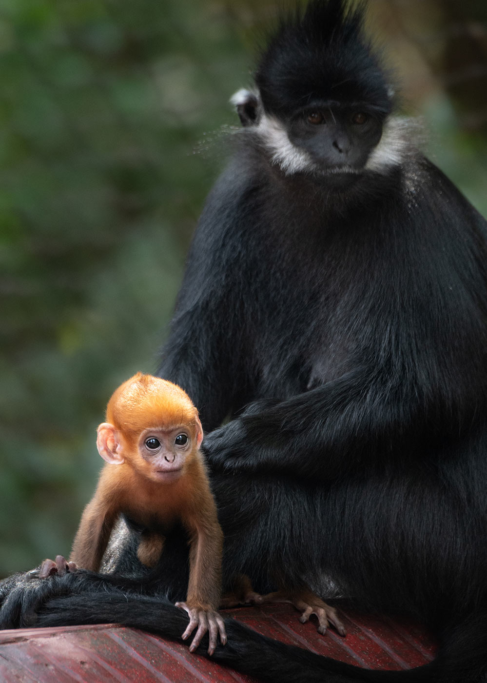 Francois langur with baby.