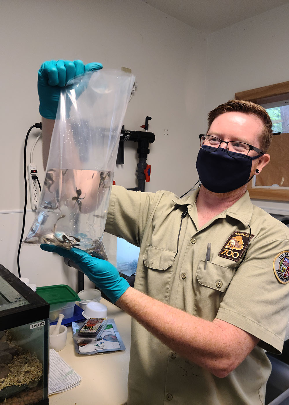 Animal Keeper Jeromy Chenault prepares mountain yellow-legged frog tadpoles and froglets for a summer release