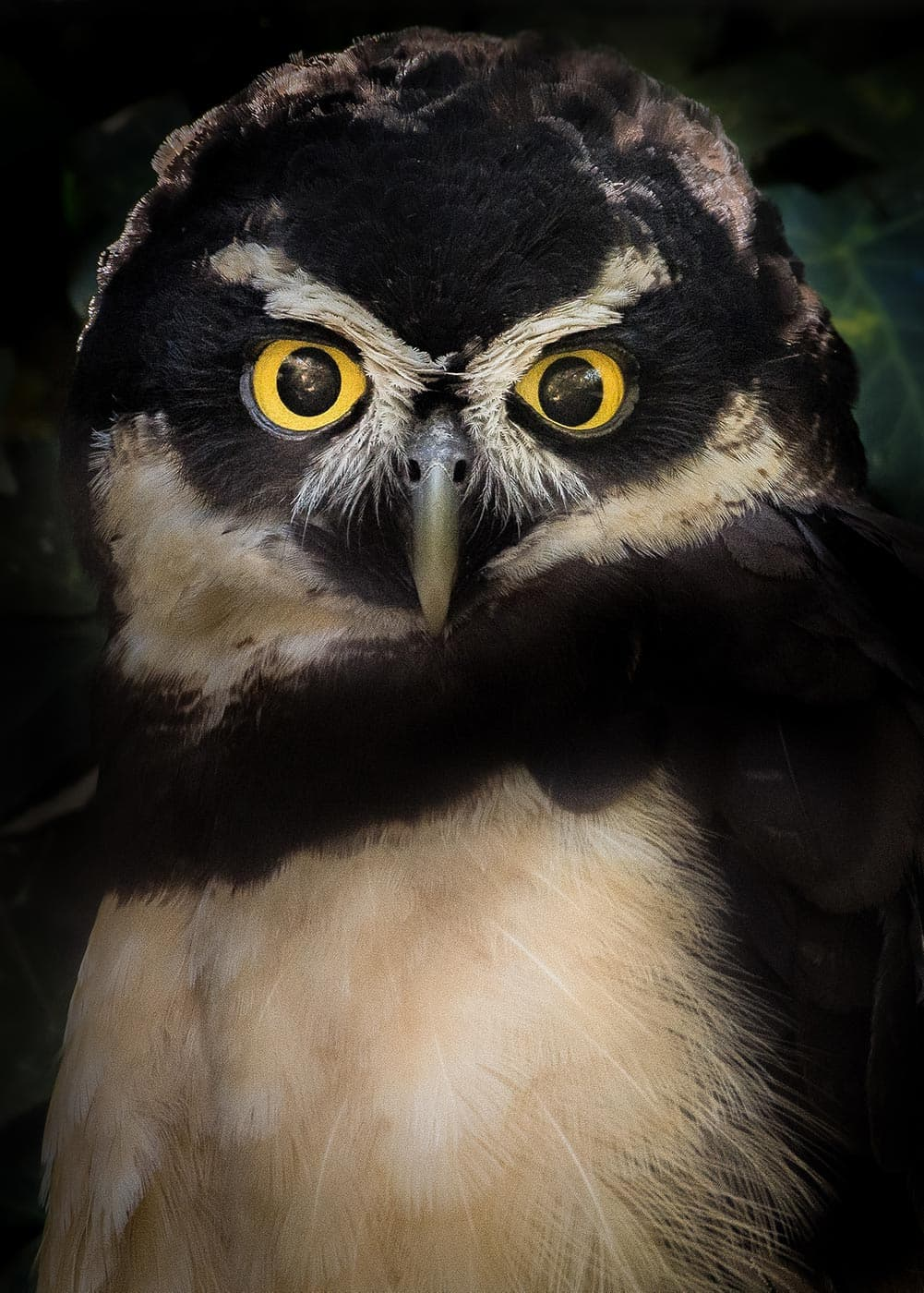 Spectacled owl with yellow eyes