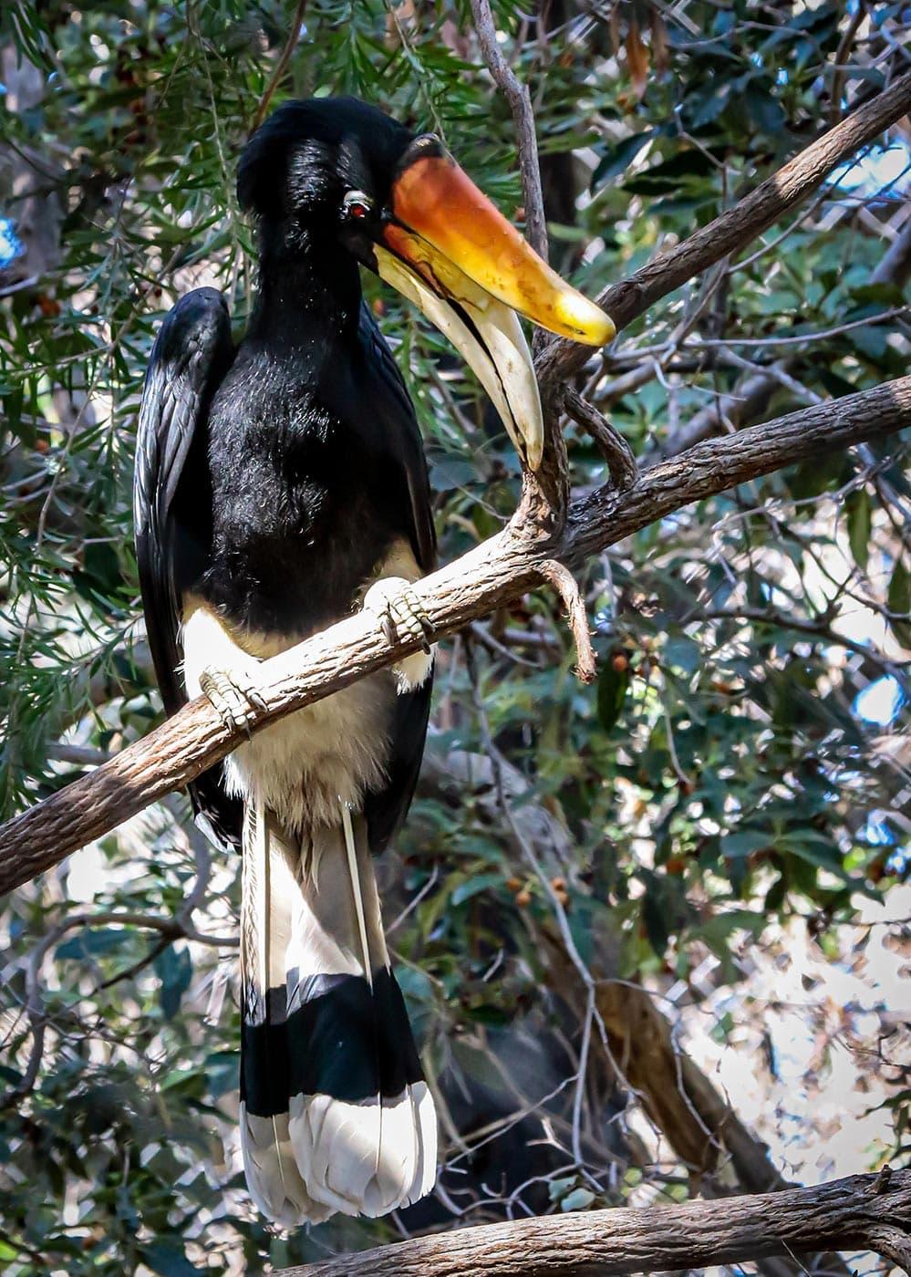 Rhinoceros hornbill in tree