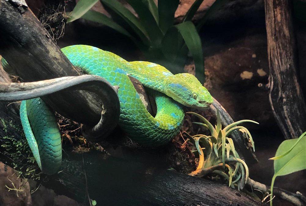 Rowley's palm pitviper