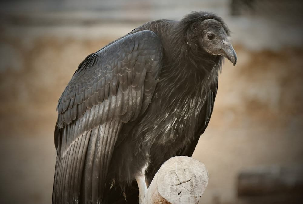 Condor perched