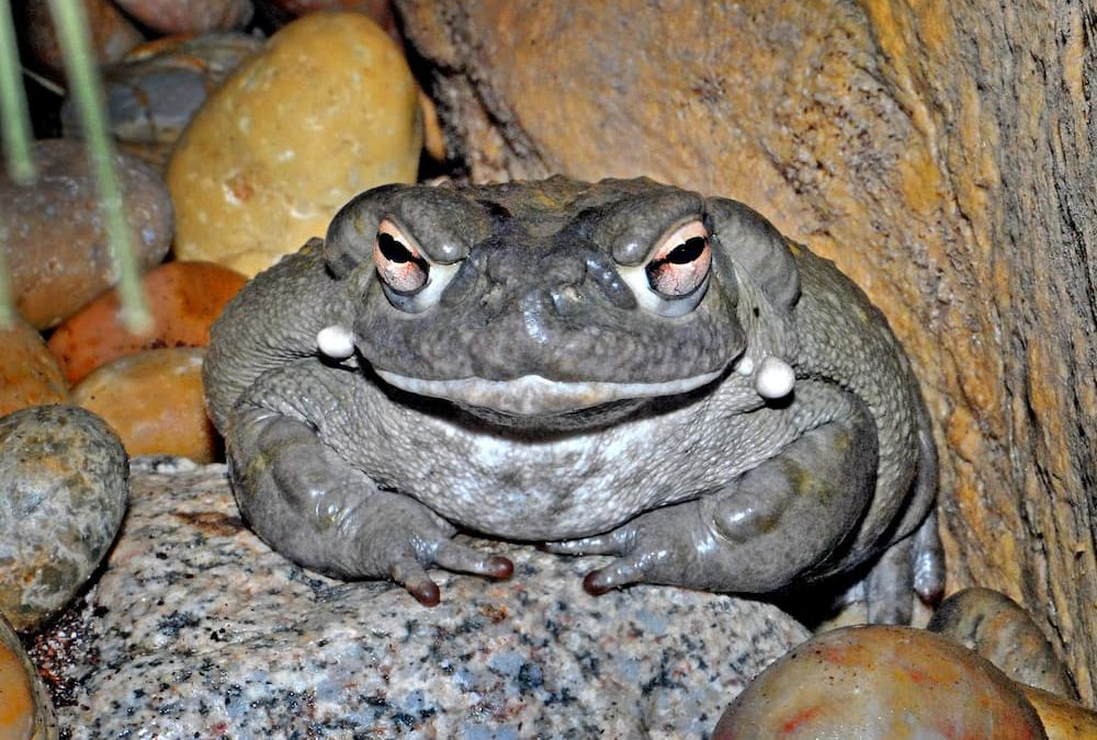 Sonoran toad on a rock