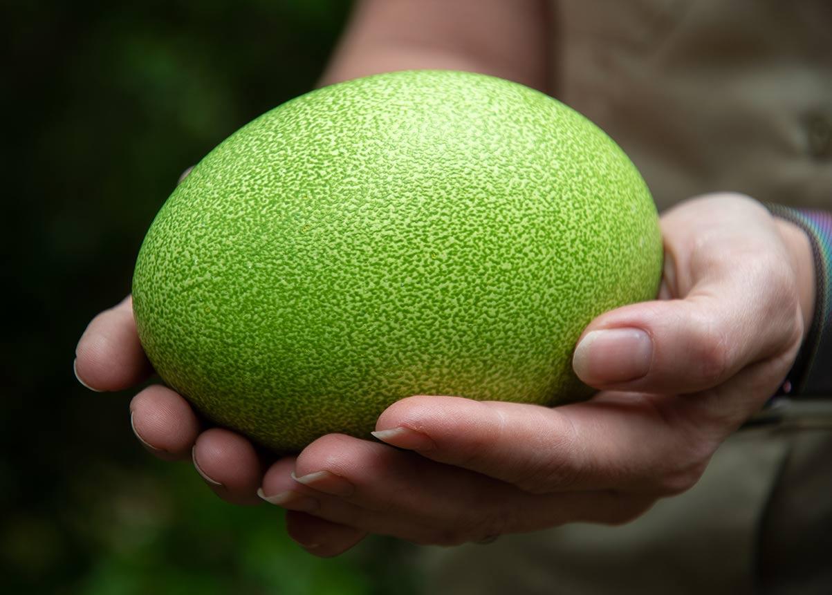 Green cassowary egg being held.