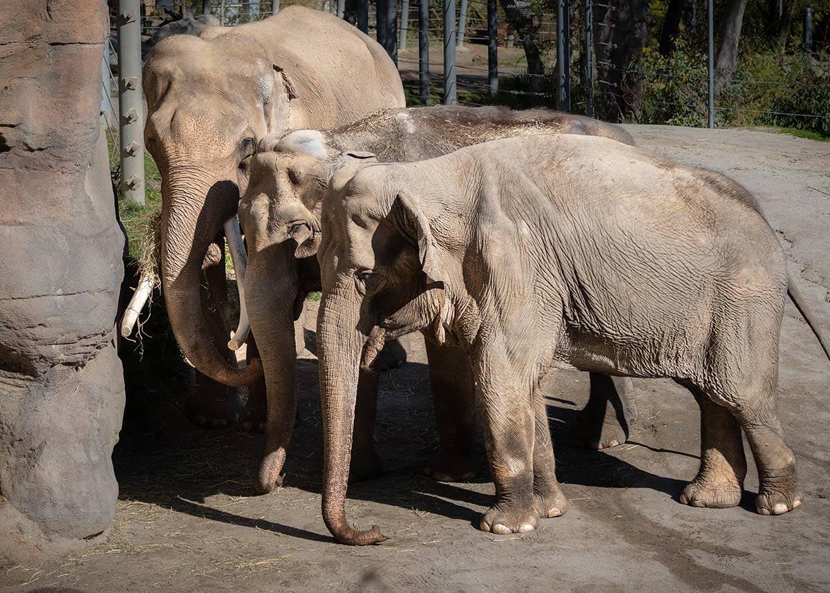 Elephants Tina Jewel and Billy JEP_0006